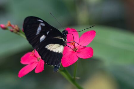 black butterfly on a pink flower