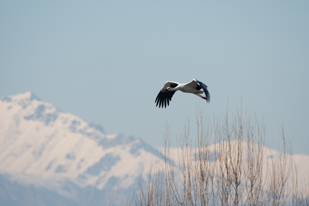 a stork flies in the foreground with the snowy mountains in the background.