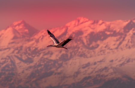a stork flies in the foreground with the snow-capped mountains in the background during the sunset.