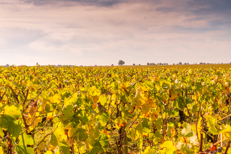 Autumn sunset on vineyards around Saint-Emilion with hills grapes and trees in Medoc region near Bordeaux France.