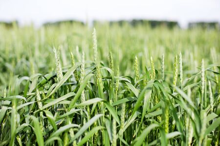 Green spikelets of wheat on the agricultural field, green unripe cereals. Beautiful green wheat ears growing in field, rural scenery. The concept of farming, agriculture and natural eco food. Bread Reklamní fotografie