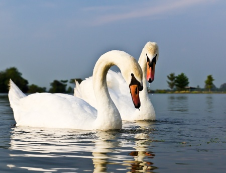 A pair of white swans swimming in a natural outdoor setting. Stock Photo