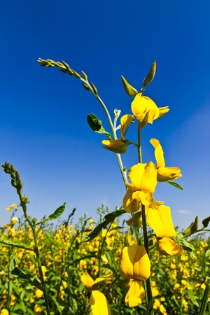 arvensis: Rural Meadow Covered with Yellow Flowers and blue sky
