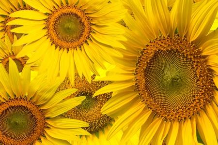 Beautiful yellow Sunflower background closeup Stock Photo