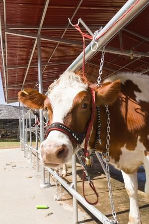 Cow in farm photo