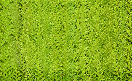Cypress tree leaves. Colorful Pine Tree Background Stock Photo - 9404279