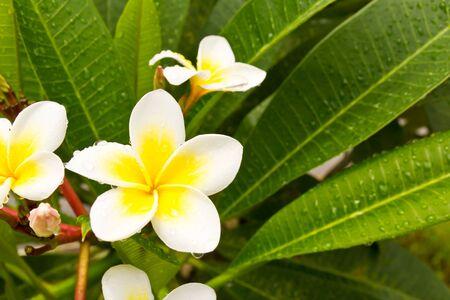 Lan Thom White flowers on trees Stock Photo - 9684126