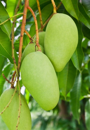 edible leaves: A Green mango tree with full of fruits