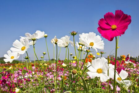 Bloeiende Cosmos bloementuin en blauwe hemel Stockfoto - 9793570