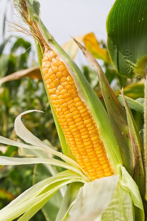 Corn on the stalk in the field Stockfoto