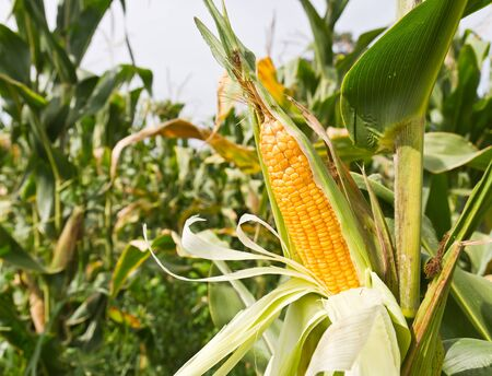 Corn on the stalk in the field photo