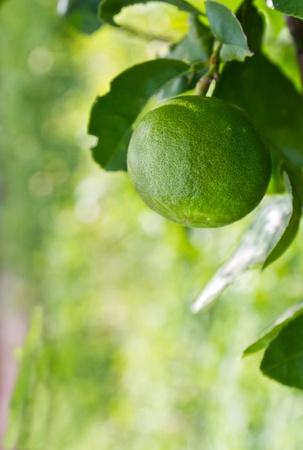 Green lemon on the tree among the leaves Stock Photo - 10039486