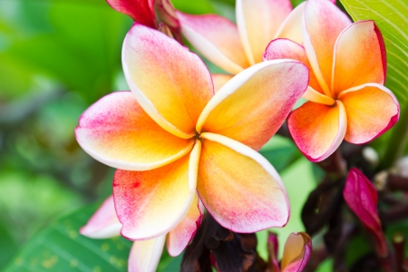 Beautiful  orange flower in thailand, Lan thom flower Stockfoto
