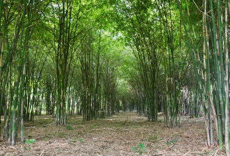 Bamboo trees growing in tranquil forest,Thailand photo