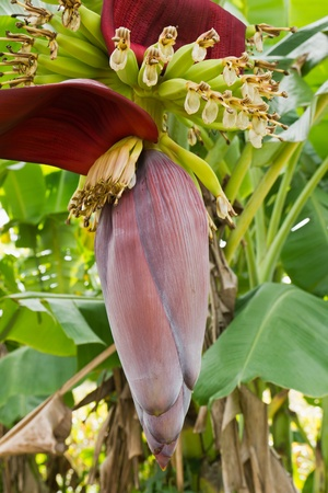 Banana blossom and bunch on tree in Thailand