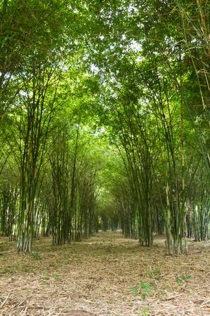 Bamboo bomen groeien in een rustige bos, Thailand Stockfoto - 10107673