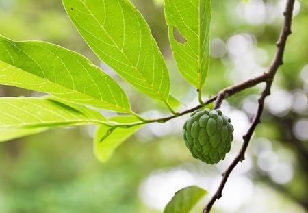 Custard apple growing on tree in nature photo