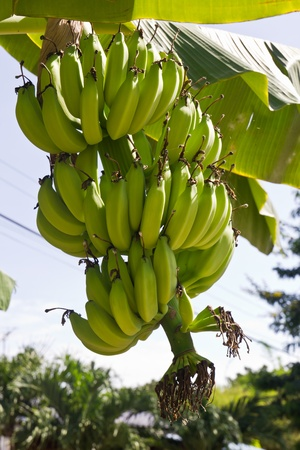 Green young bananas on top of it. photo