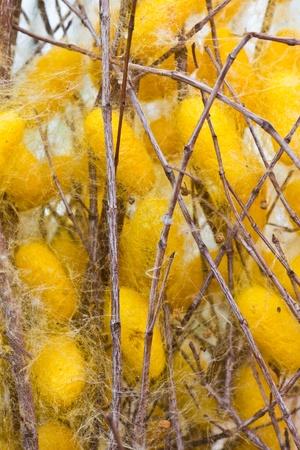 Silk worms nest on dry twigs Stock Photo - 10355763