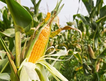 corn yellow: De ma�z en el tallo en el campo