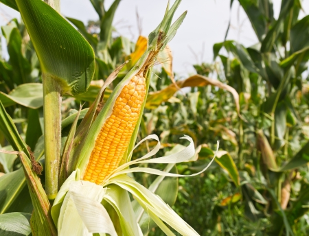 Mais am Stiel auf dem Gebiet