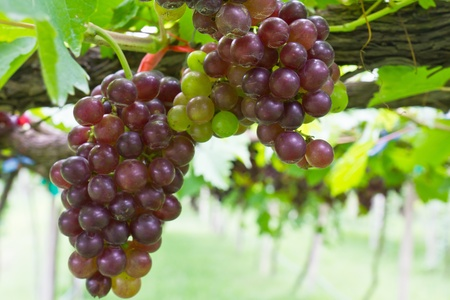 bunch of grapes: Red grape vine in the yard