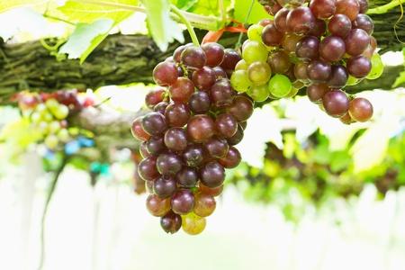 포도 수확: 마당에 붉은 포도 덩굴