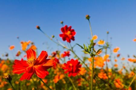 Cosmos bloem en de blauwe hemel Stockfoto - 10658296