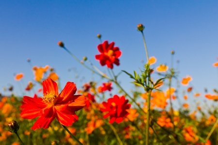 medicinal: Cosmos flower and blue sky Stock Photo