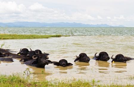 Water Buffalo herds soak water in Thailand photo