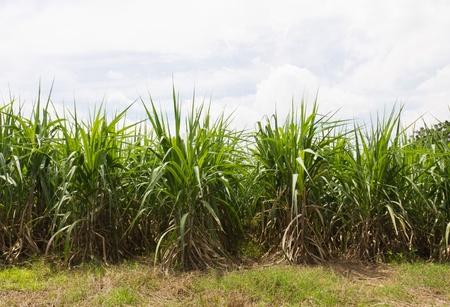 Sugar cane fields, culture tropical in Thailand photo