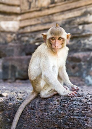 Portrait of young rhesus macaque monkey in Wat Prapang Sam Yot temple  in Thailand