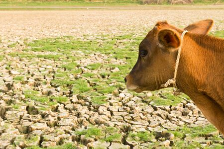 Cow and Cracked earth  metaphoric for climate change and global warming. photo
