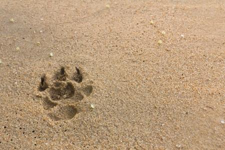 desert footprint: dogs footprints on the beach Stock Photo
