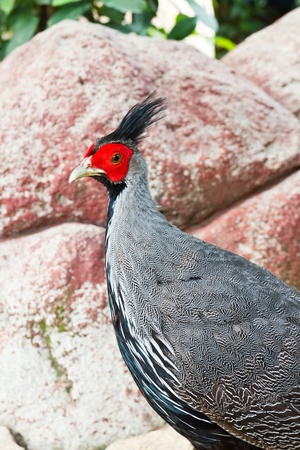 Male portrait of Silver pheasant photo