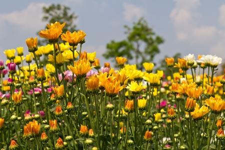Colorful  chrysanthemum  flowers in garden Stock Photo - 12531575