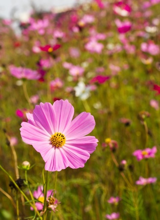 Cosmos flowers on spring background photo