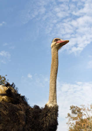 Close up portrait of an ostrich photo