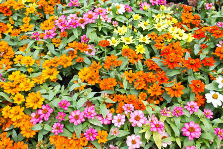 Colorful chrysanthemum flowers in garden Stock Photo - 12811556