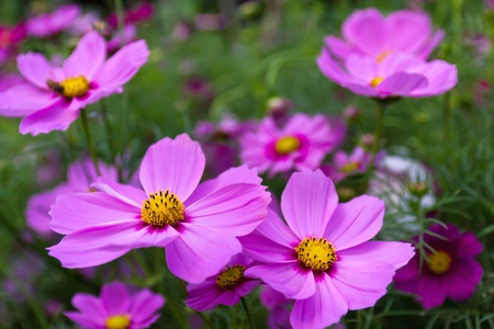 Cosmos flowers on spring background Stock Photo
