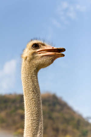 screaming head: Close up portrait of an ostrich