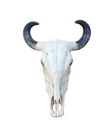 Buffalo skull isolate on white background photo