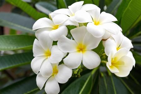 Beautiful white flower in thailand, Lan thom flower Stockfoto