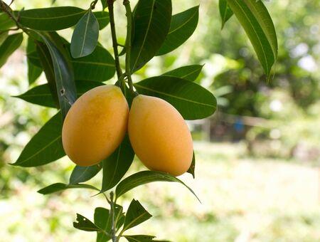 Marian plum or maprang  thai fruit  hang on tree photo