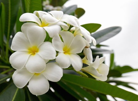 Beautiful white flower in thailand, Lan thom flower Stock Photo