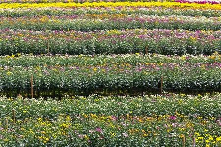 Colorful  chrysanthemum  flowers in garden Stock Photo - 13209818