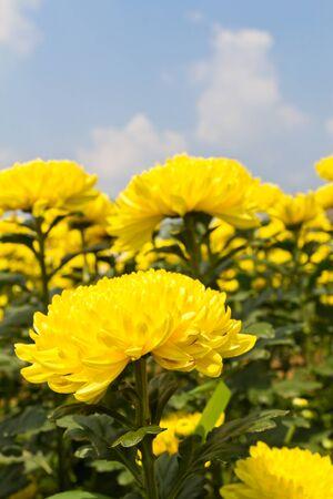 Colorful  yellow chrysanthemum  flowers in garden Stock Photo - 13209820