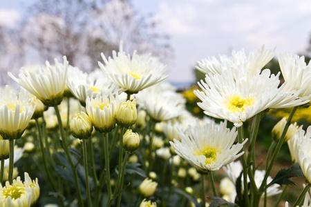 White chrysanthemum  flowers in garden Stock Photo - 13209774