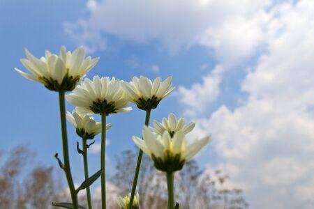 White chrysanthemum  flowers in garden photo