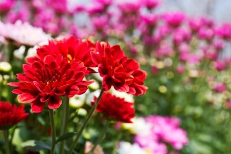 Colorful Red chrysanthemum  flowers in garden photo